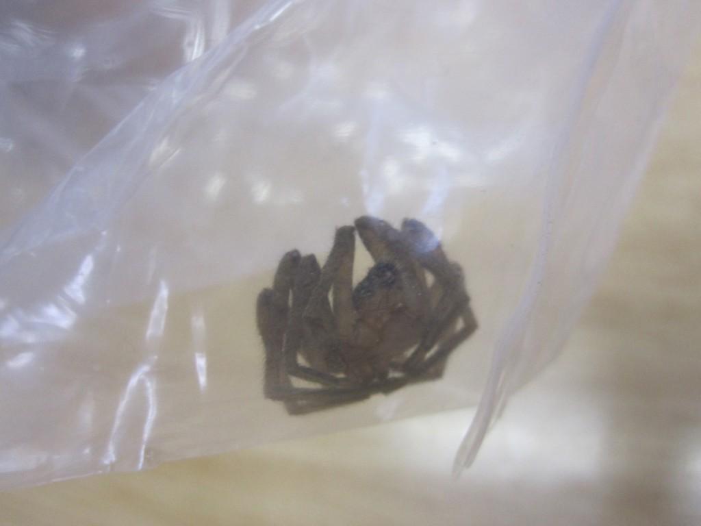 ビニール袋の中でうずくまるアシダカグモ