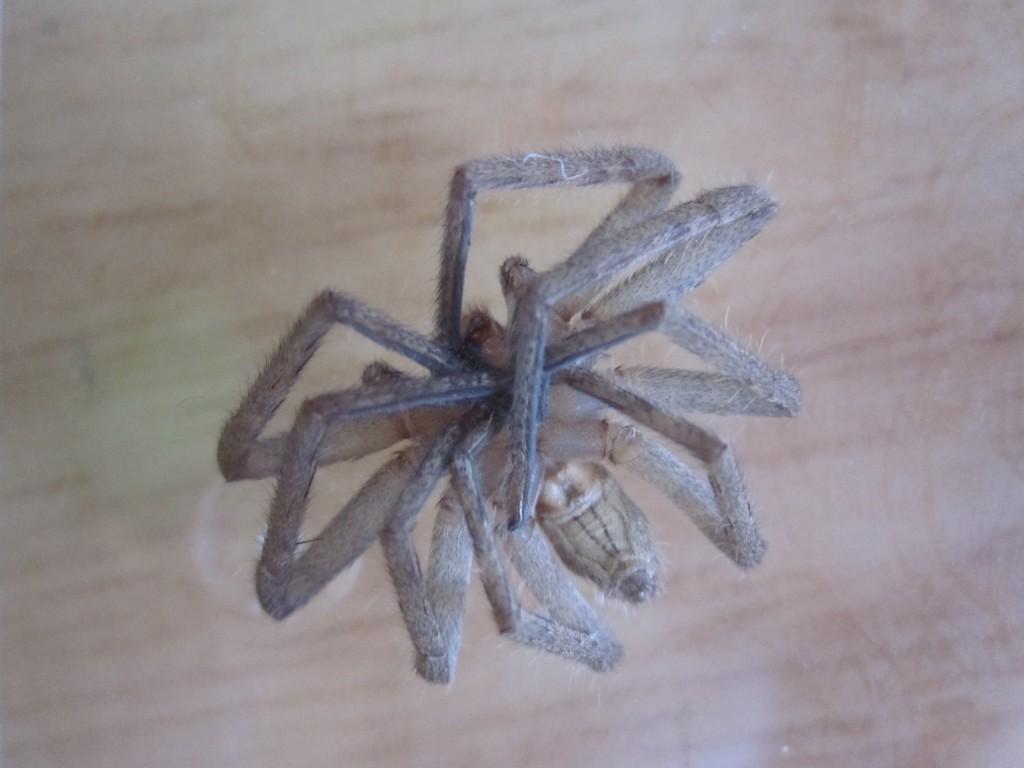 仰向け状態のアシダカグモ