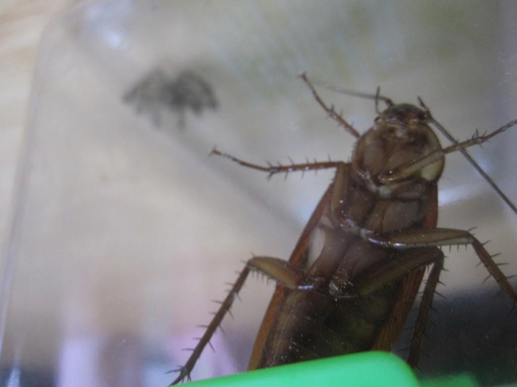 ゴキブリとアシダカグモを一緒にした様子