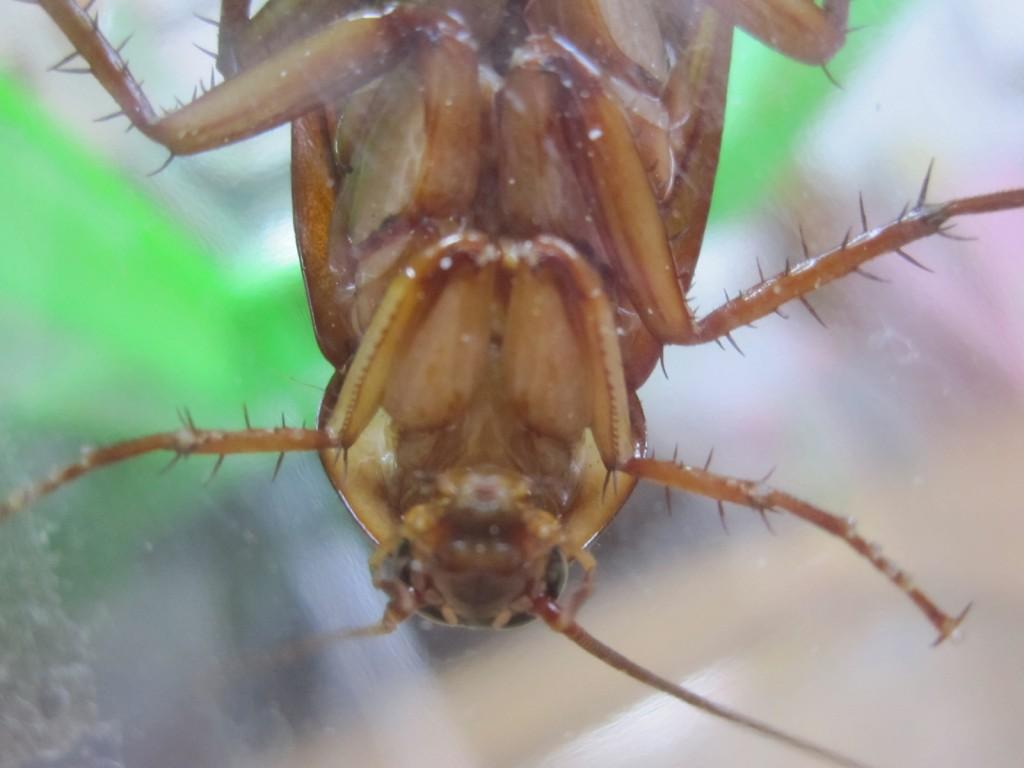 ワモンゴキブリの顔と腹