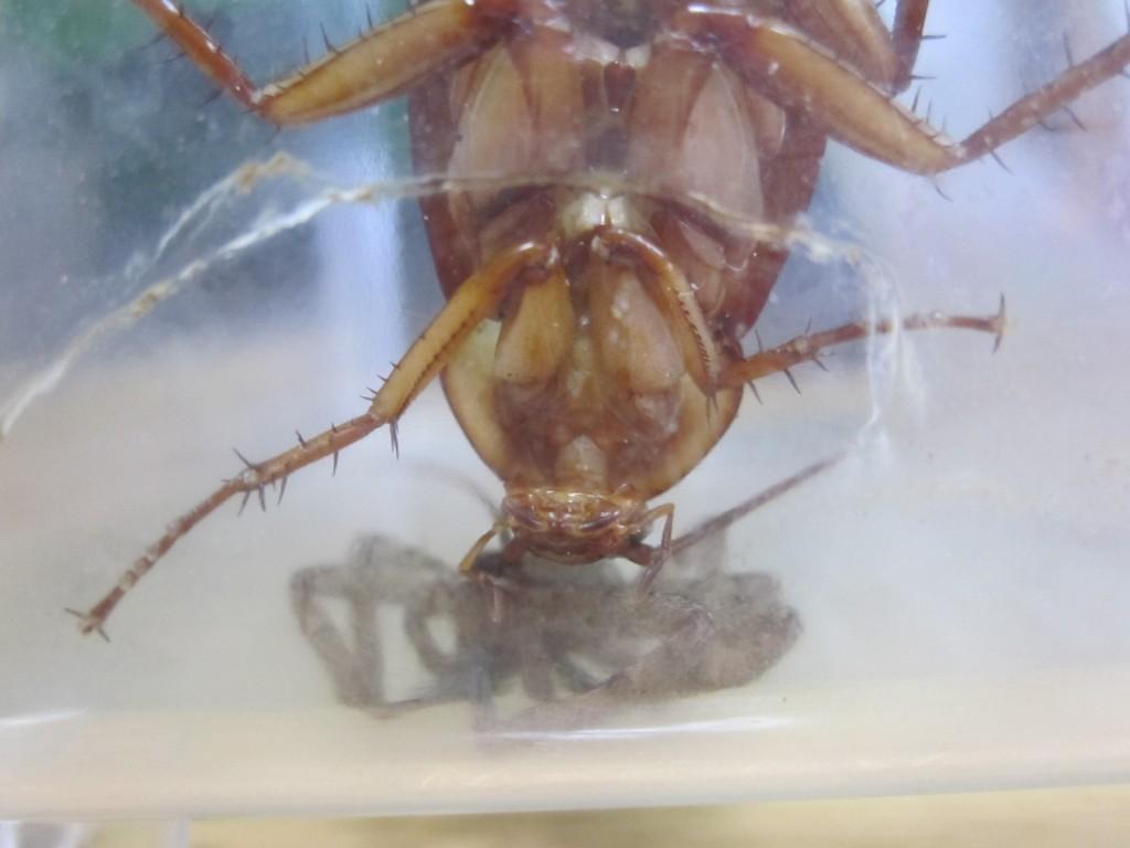 超接近するゴキブリとアシダカグモ