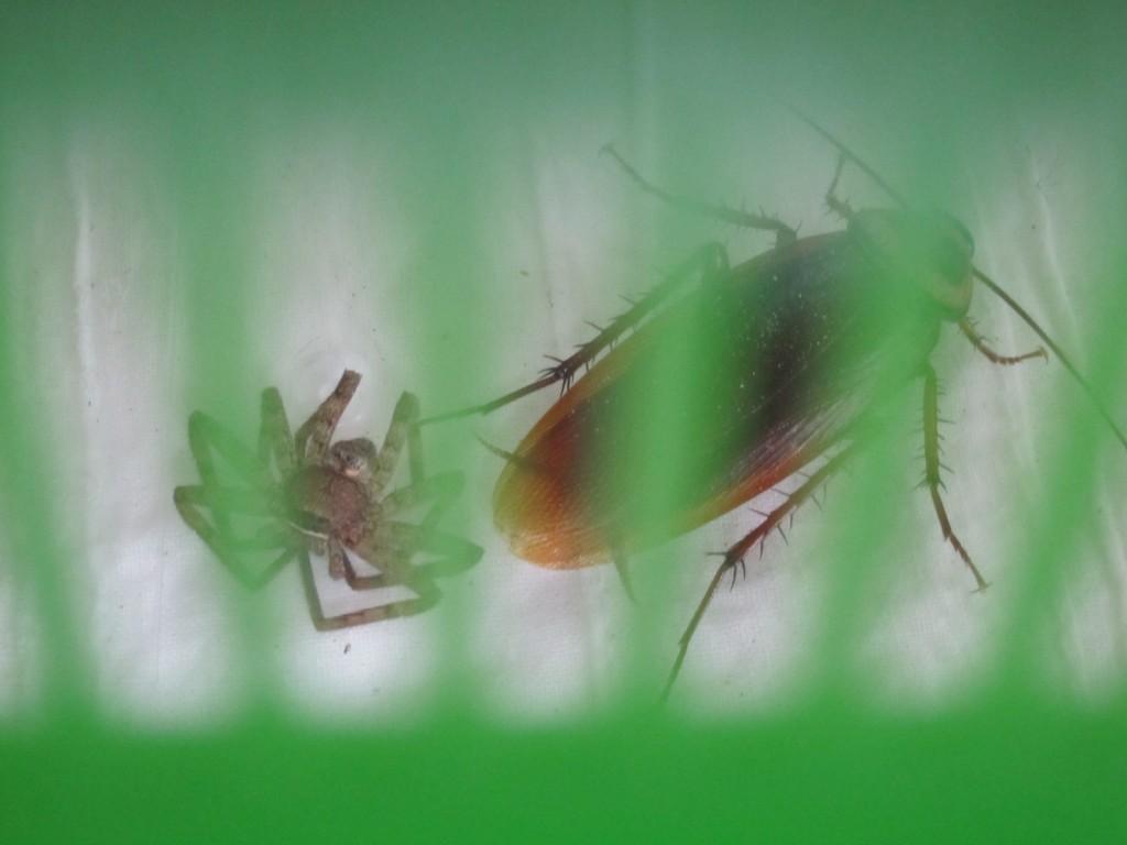 虫カゴの中のゴキブリとアシダカグモ