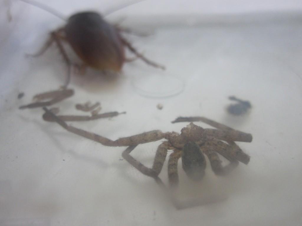 ゴキブリに食べられたアシダカグモの残骸
