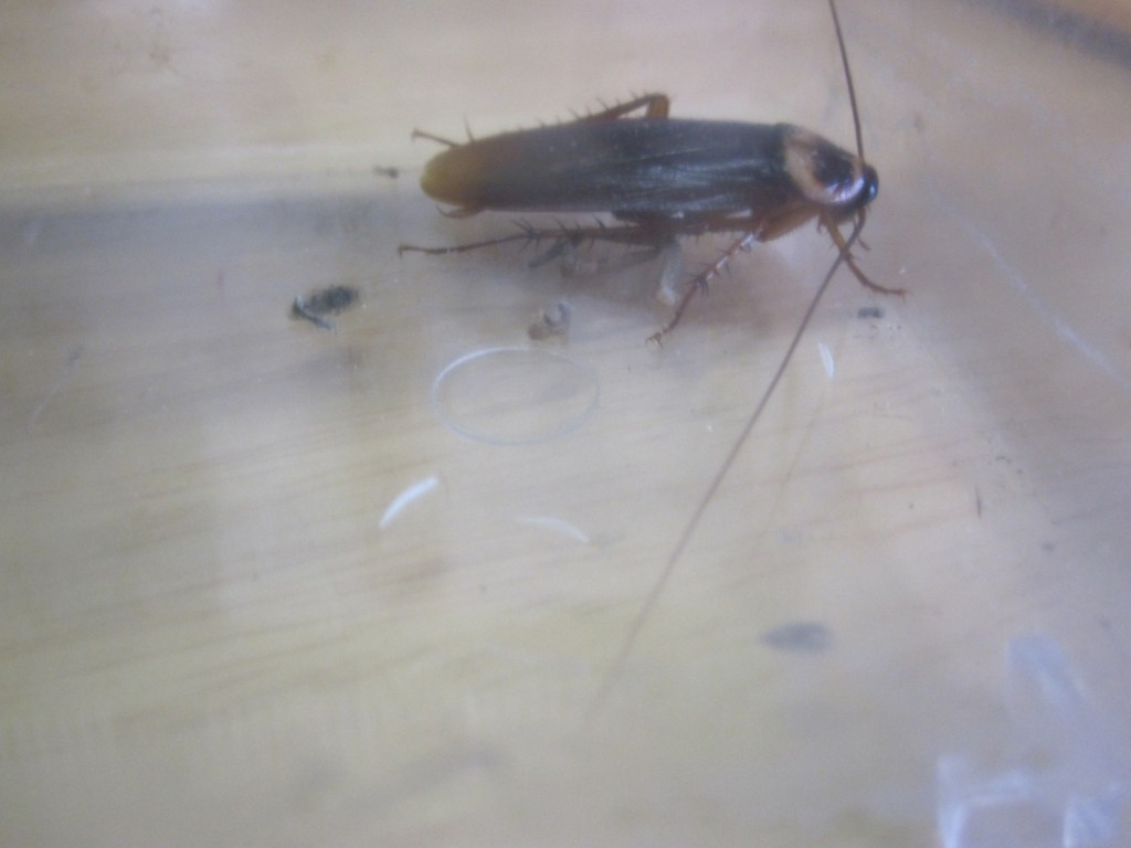 ゴキブリを飼育する虫かごに爪を投げ入れる
