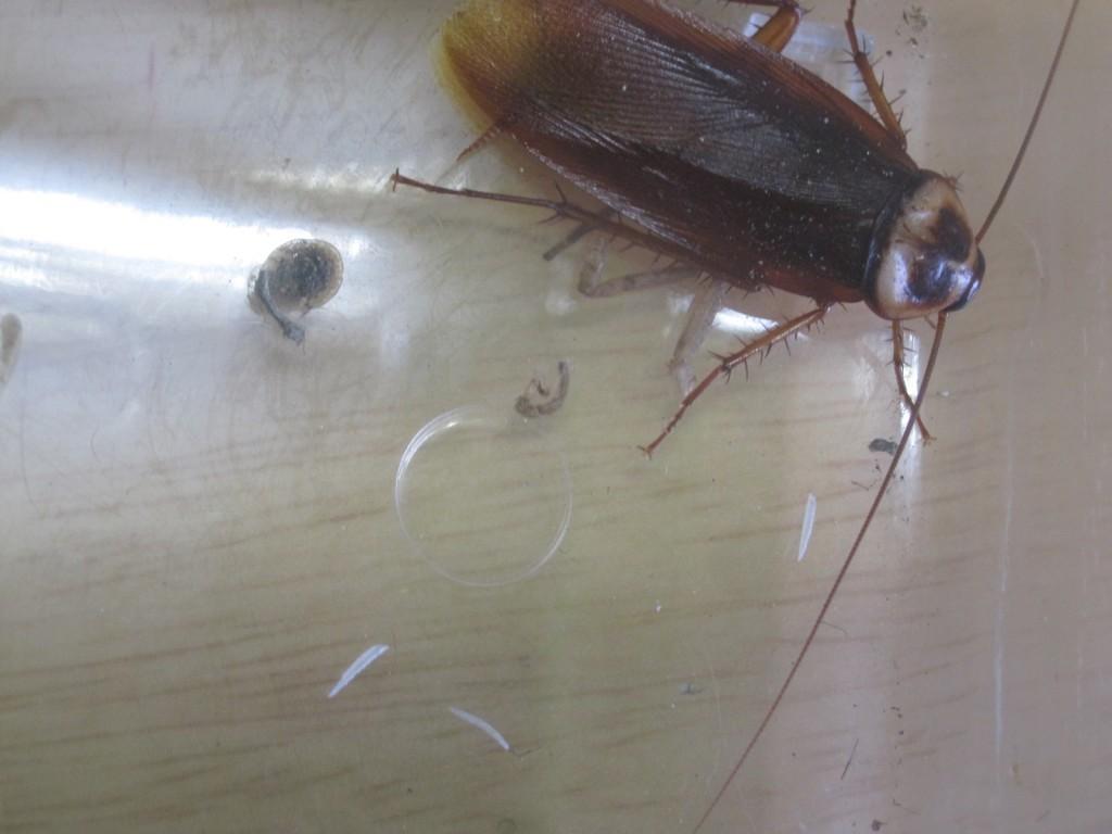 微動だにしないゴキブリ