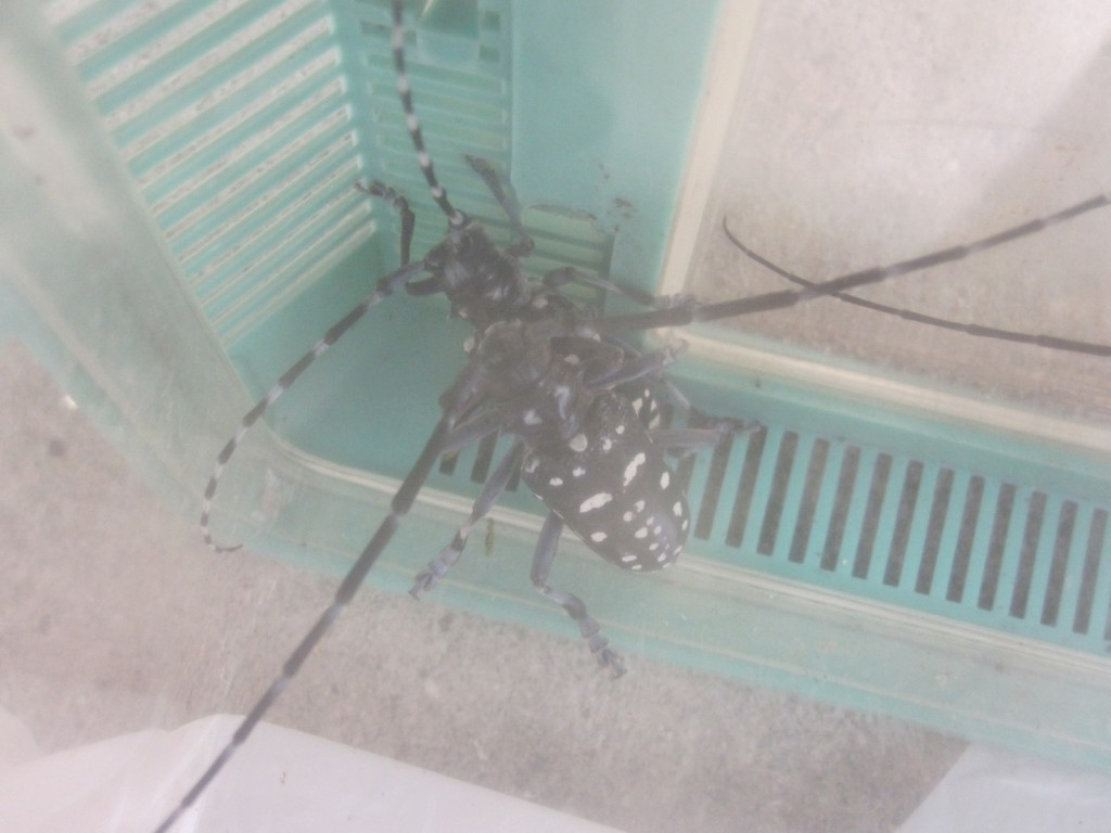 虫カゴの中で交尾するゴマダラカミキリ