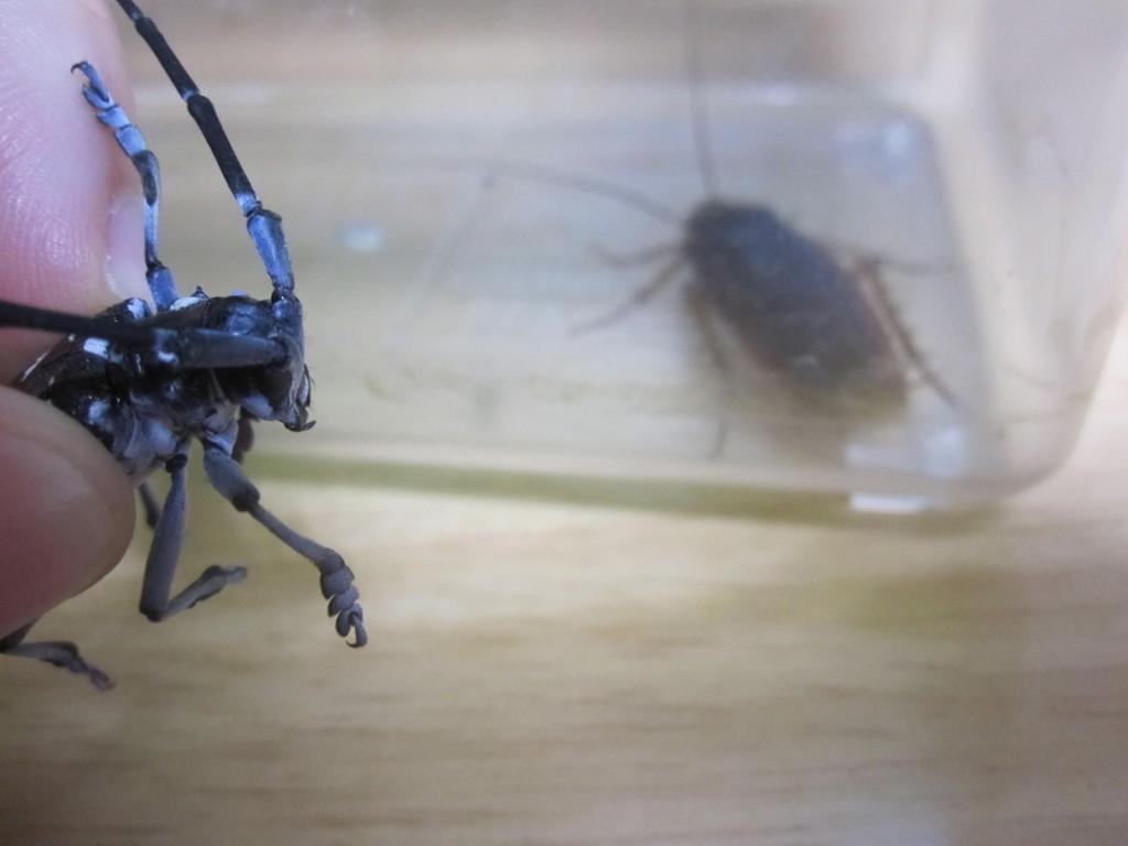 ゴキブリが入った虫かごを見つめるカミキリムシ