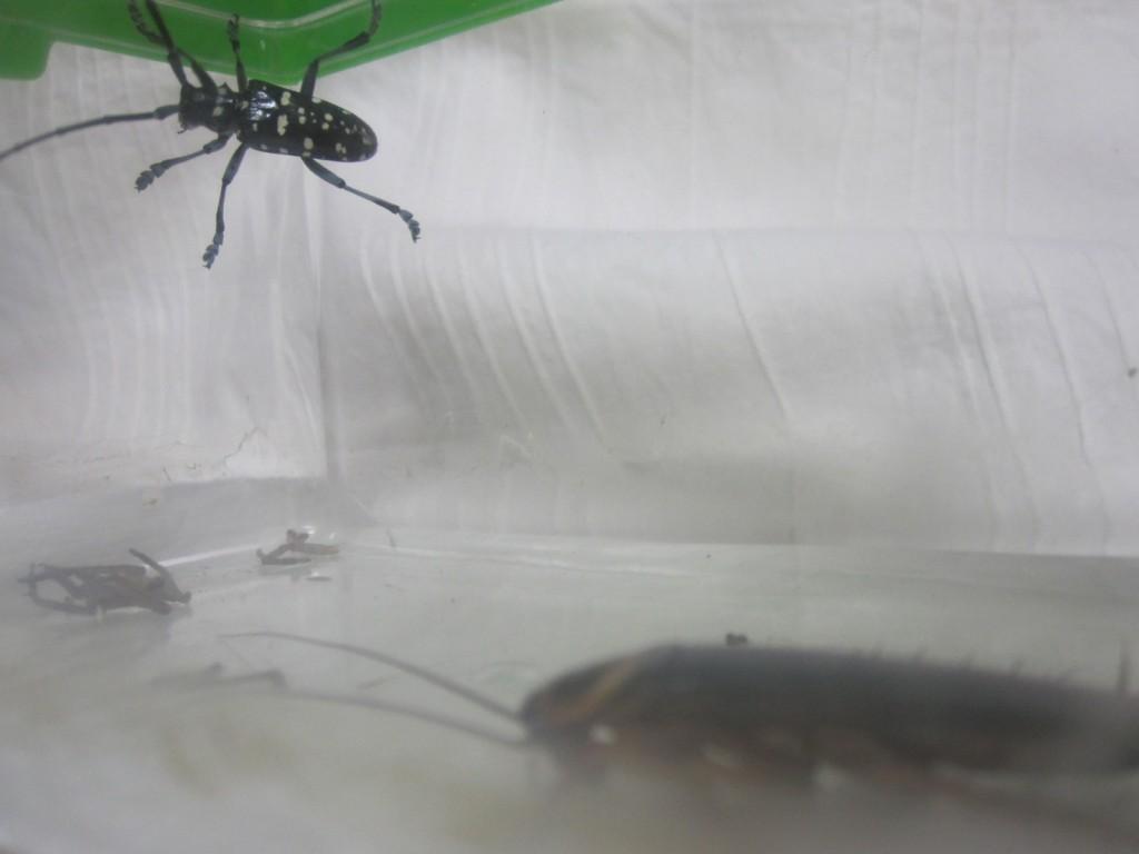 ゴキブリと距離を取るカミキリムシ