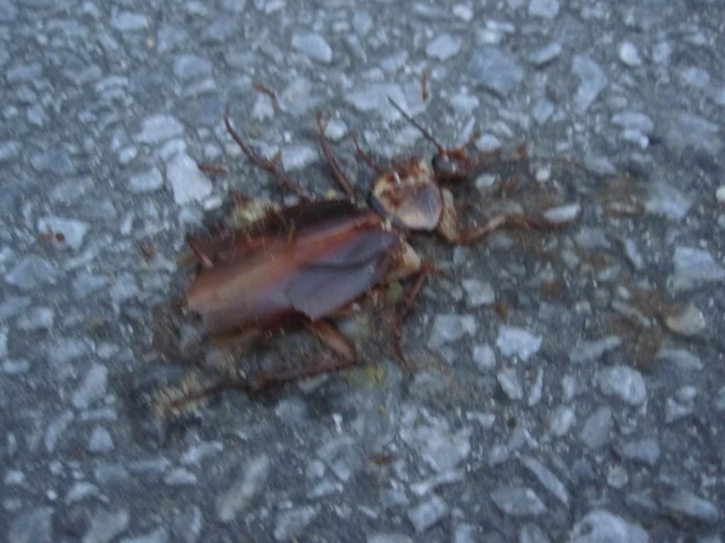 車に轢かれペシャンコに潰れたワモンゴキブリ