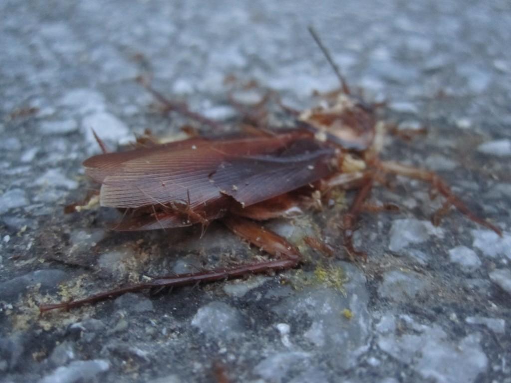車に潰された死んだワモンゴキブリ