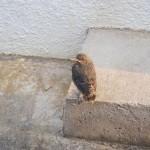 野鳥のイソヒヨドリがしつこく追って来て激しく威嚇してくると思ったら雛鳥が孵っていた∑(*゚д゚*)