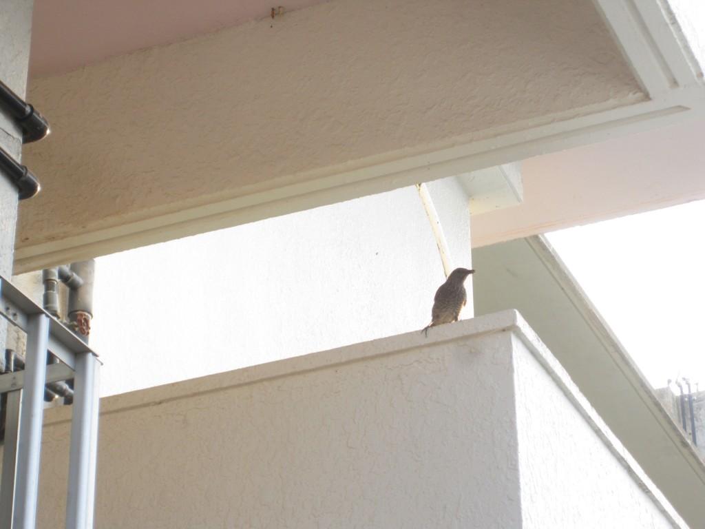 野生のイソヒヨドリ(メス)が威嚇してくる