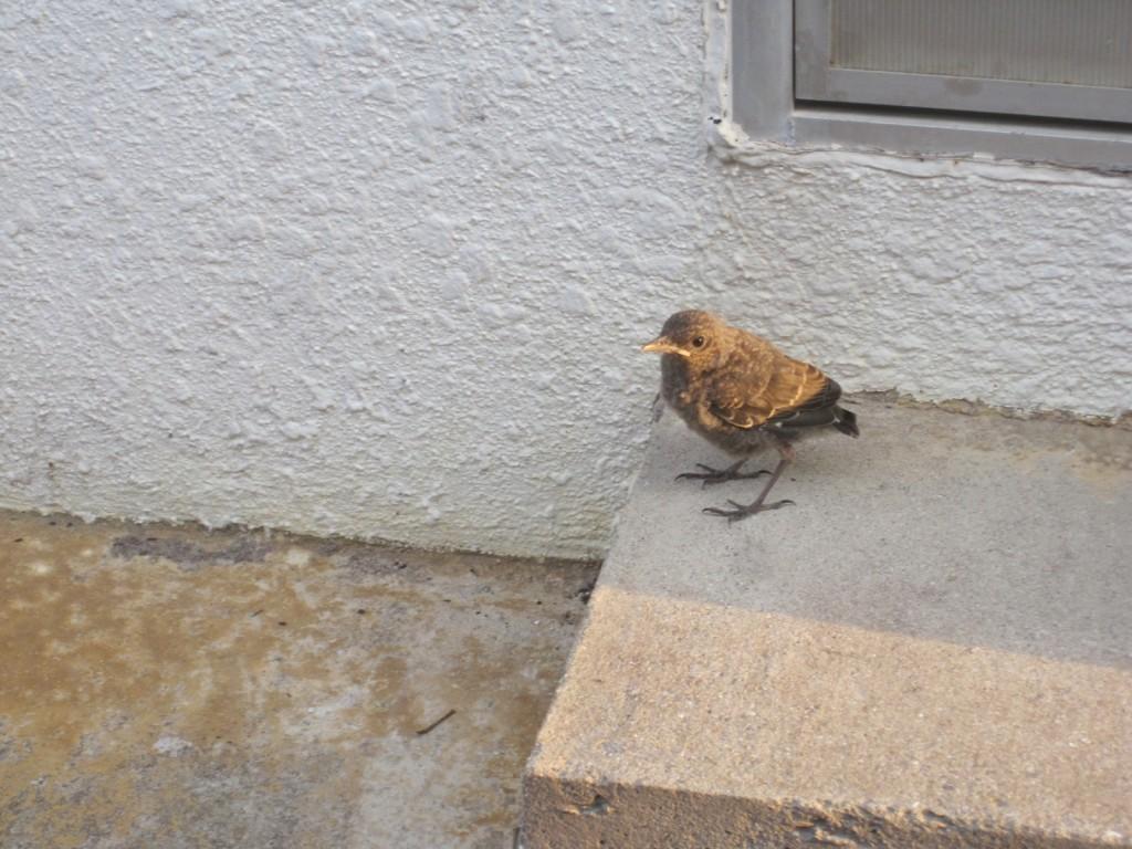 巣立ち直後のイソヒヨドリの雛