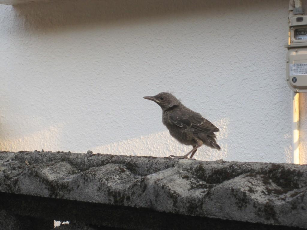 ブロック塀の上で休憩する雛鳥