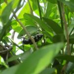 ゴマダラカミキリ(成虫)を安全に確実に捕まえる方法は軍手が最強