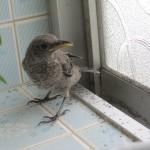 イソヒヨドリのヒナ(雛鳥)が家の中に迷い込んだから保護して逃がした
