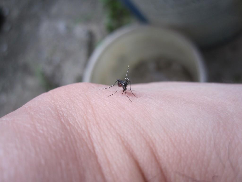 腕から吸血中の蚊(ヒトスジシマカ)