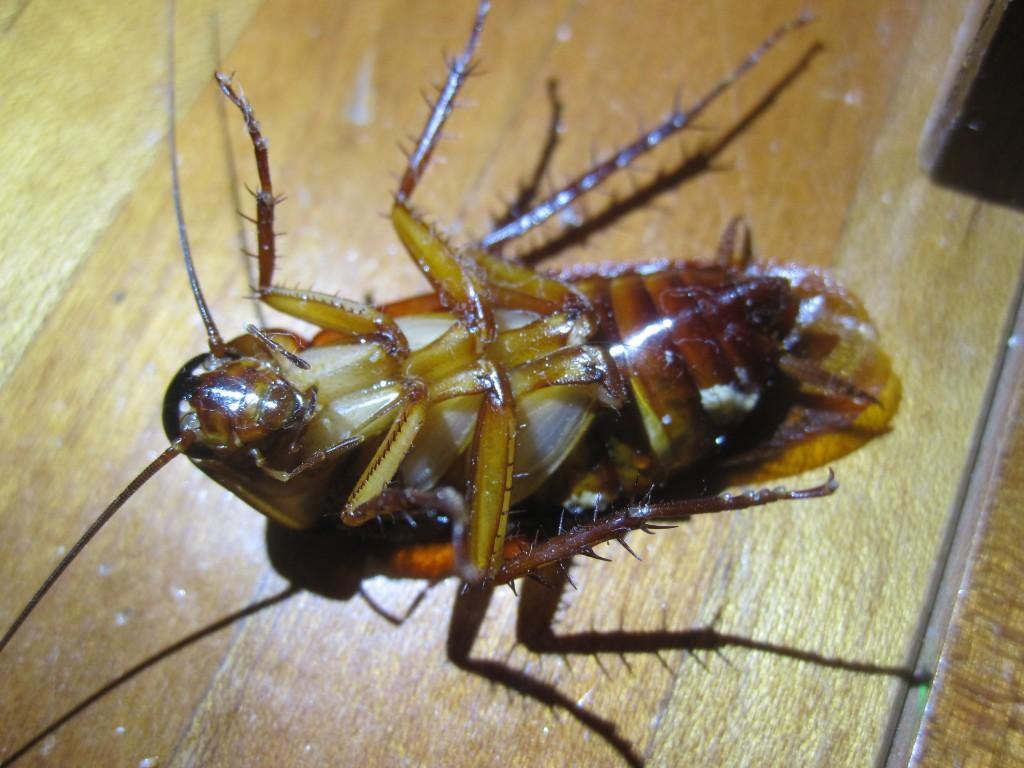 仰向けにひっくり返ったワモンゴキブリ