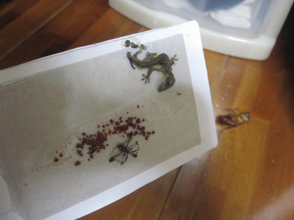 DAISOのゴキブリ捕獲器シート