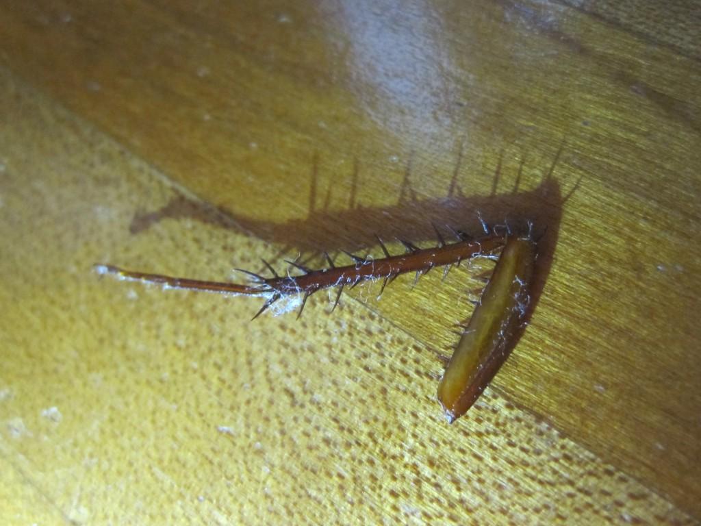 モゲたワモンゴキブリの脚