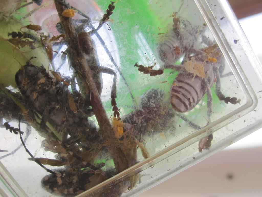 大量捕獲したゴマダラカミキリ
