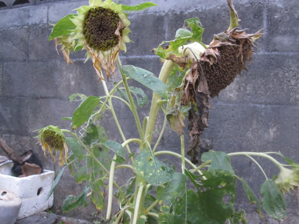 開花時期が過ぎて枯れたヒマワリ