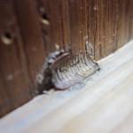 ゴキブリの卵からゴキブリの赤ちゃんが誕生Σ('□'*)