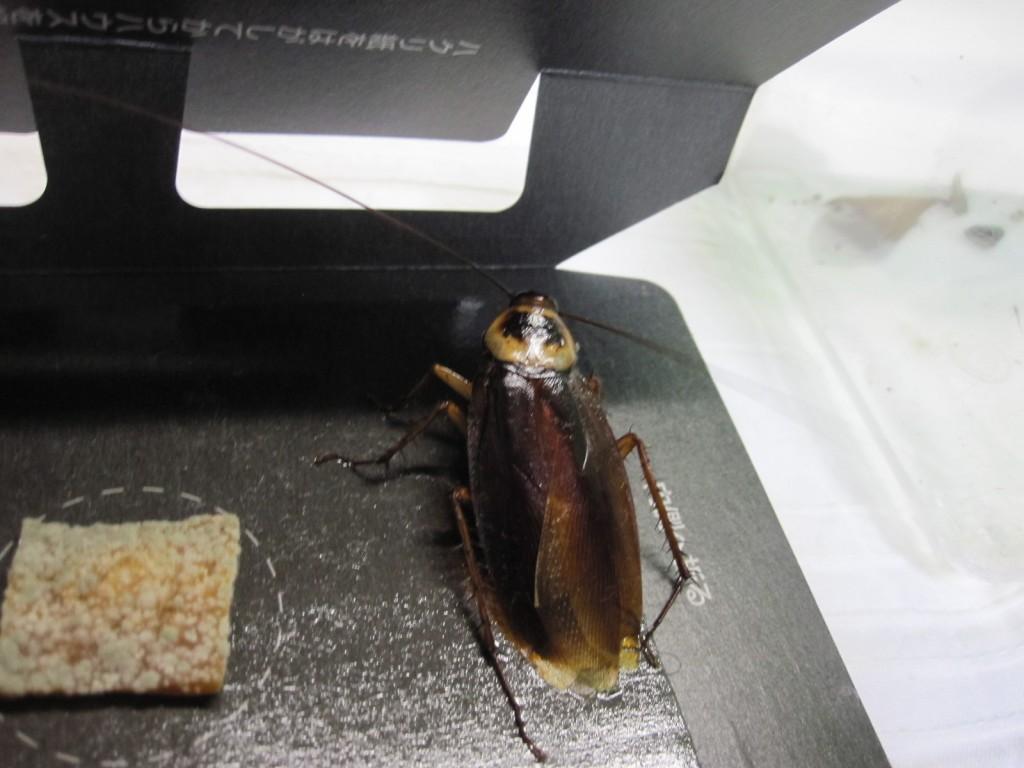 ゴキブリ捕獲器の粘着シートでもがくゴキブリ