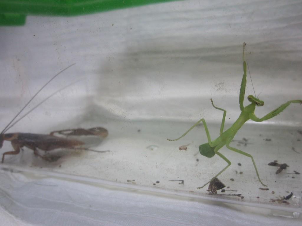 ゴキブリに驚き慌てふためいて逃げるカマキリ