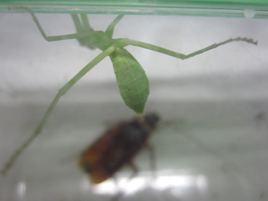 成虫のワモンゴキブリを警戒するカマキリ