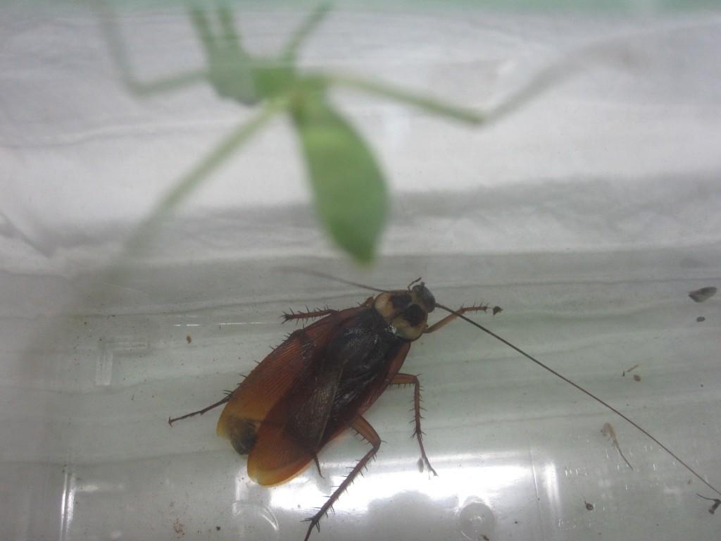 カマキリをよそに体力の回復を図るワモンゴキブリ