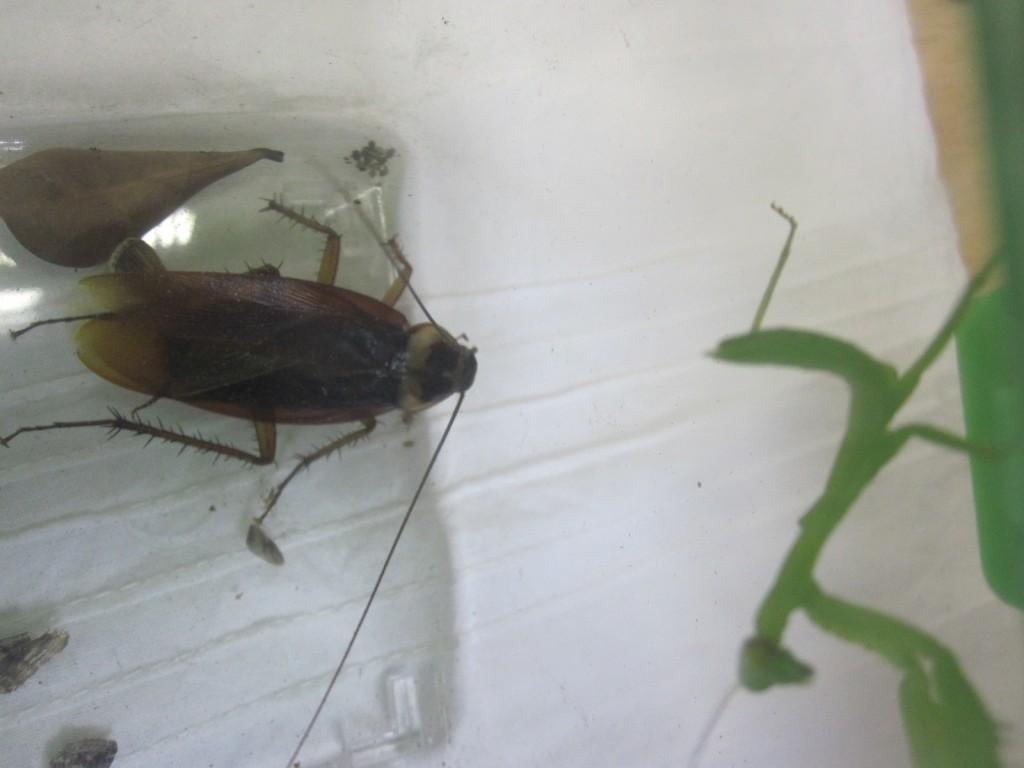 ゴキブリとの会話を試みるカマキリ