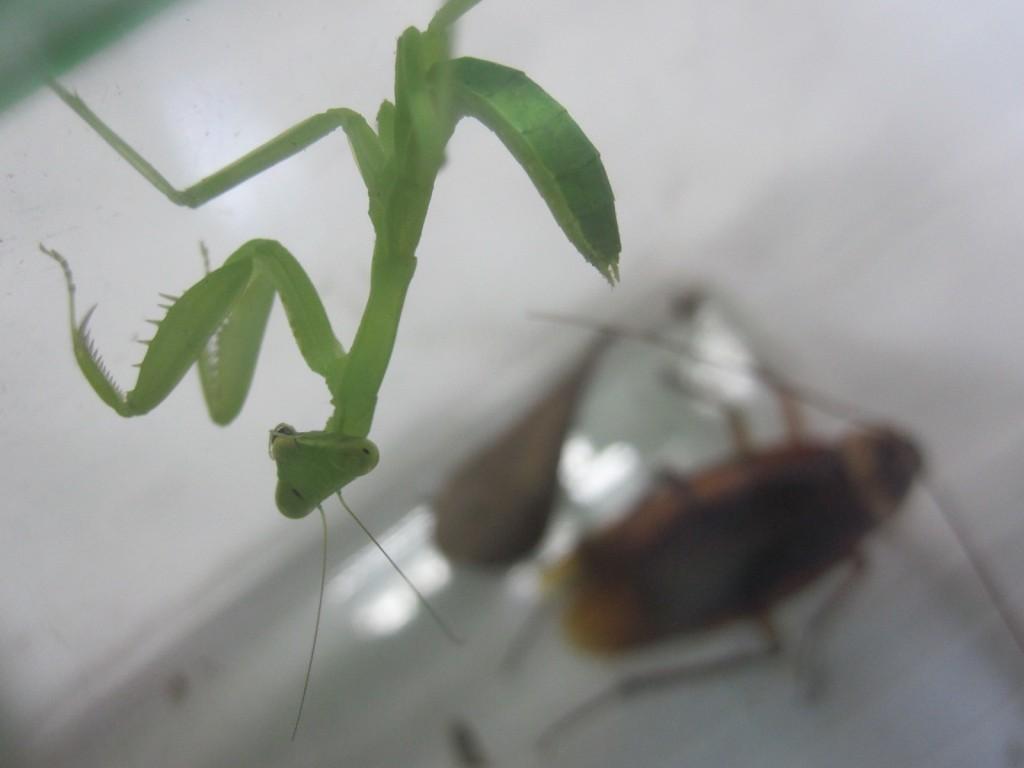 ゴキブリの気味悪さに怯えて逃げるカマキリ