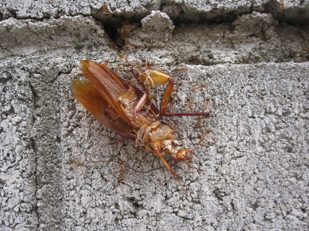 大量のアリがゴキブリの死骸を運ぶ様子