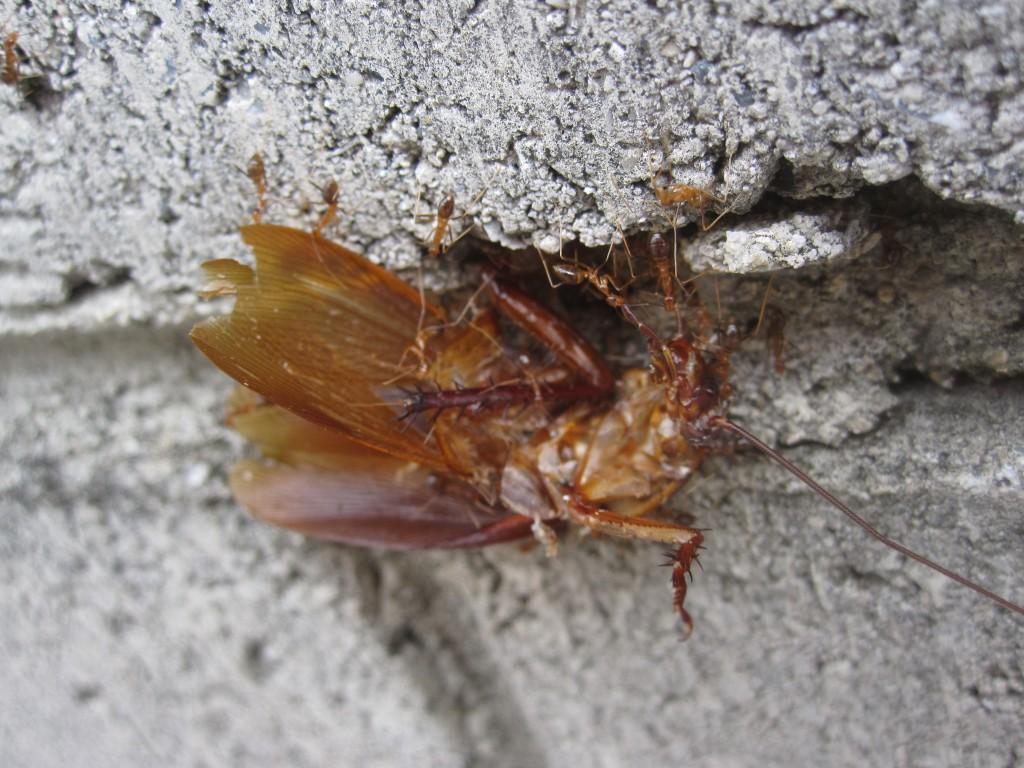 体勢・向きを替えて運ばれるゴキブリの死骸