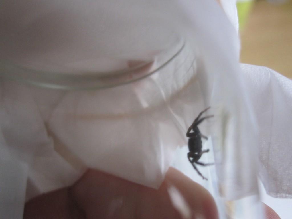 ハエトリグモを捕獲した様子