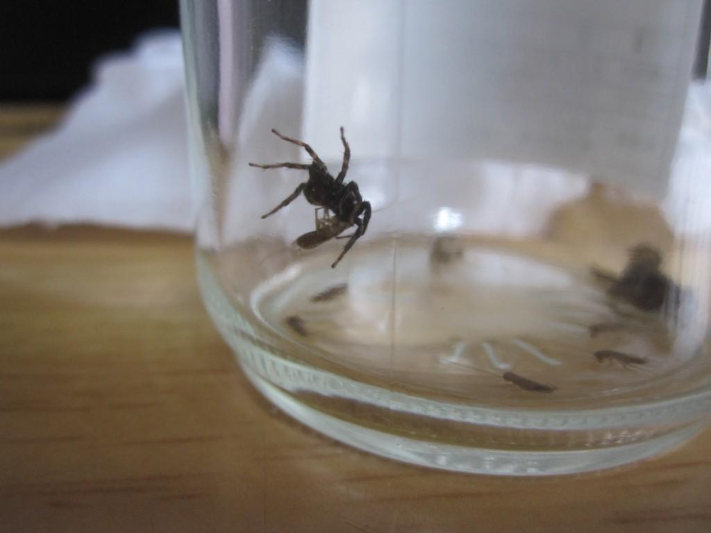 ゴキブリの赤ちゃんを捕らえたハエトリグモ