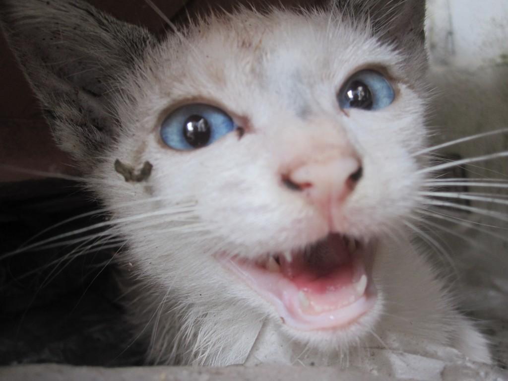 ミャーミャーと鳴く子猫
