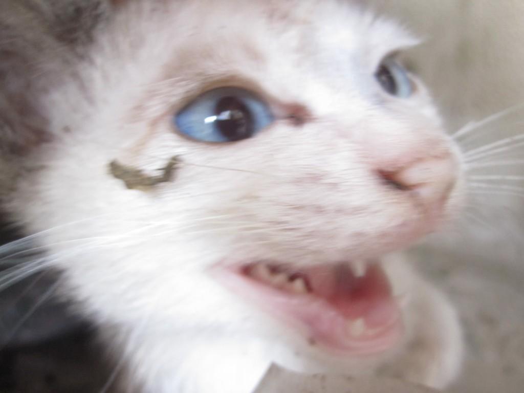 泣き続ける野良猫の仔猫