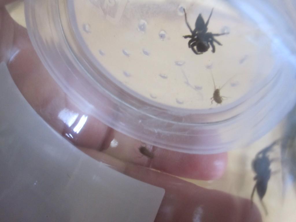 赤ちゃんゴキブリに襲いかかるハエトリグモ