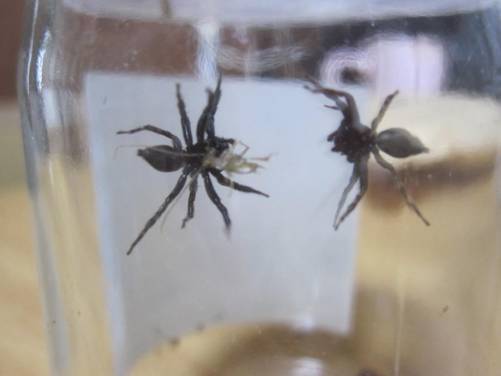 威嚇し合う2匹のハエトリグモ