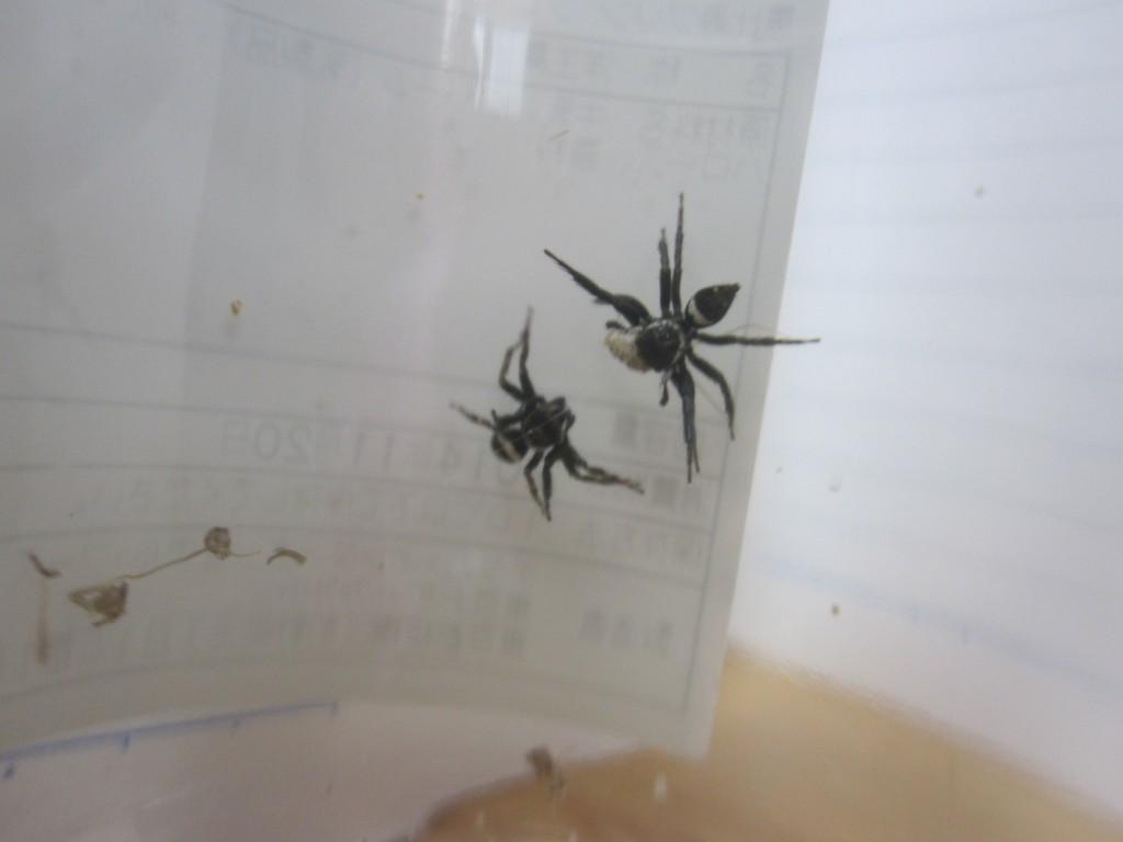 威嚇しあうアダンソンハエトリ蜘蛛