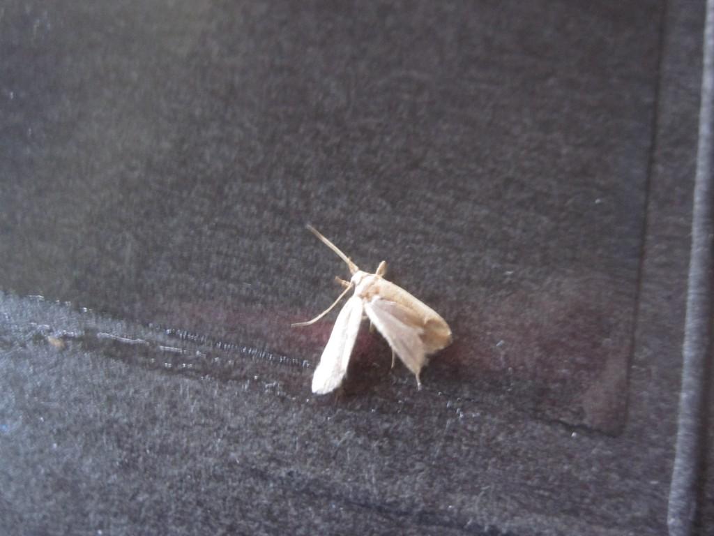 小さな虫(蛾のような昆虫)が掛かった様子