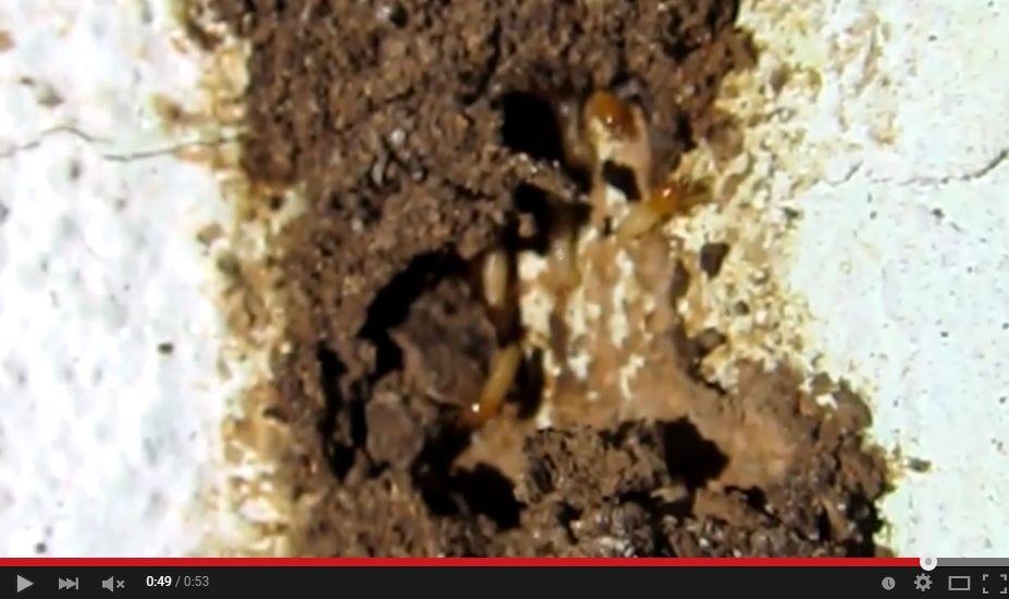 シロアリが蟻道を修復する様子