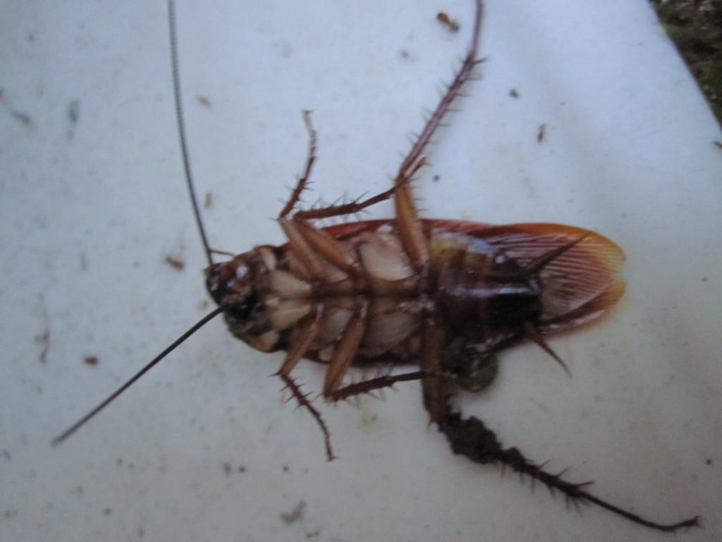 ああ 踏み潰されて即死したワモンゴキブリの成虫 踏み潰されて即死したワモンゴキブリの成虫