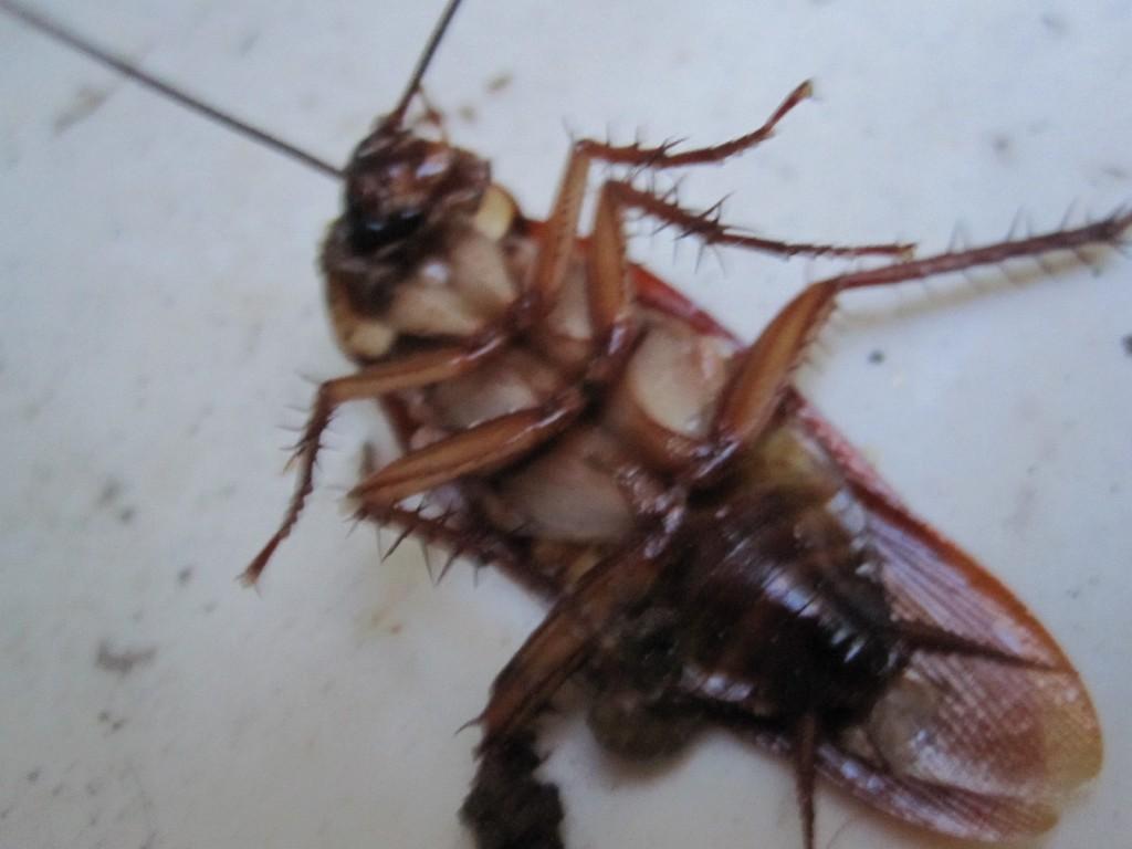 踏み潰されて即死したワモンゴキブリの成虫