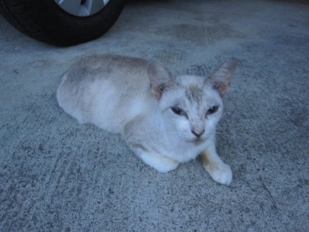 駐車場でくつろぐ大人の野良猫