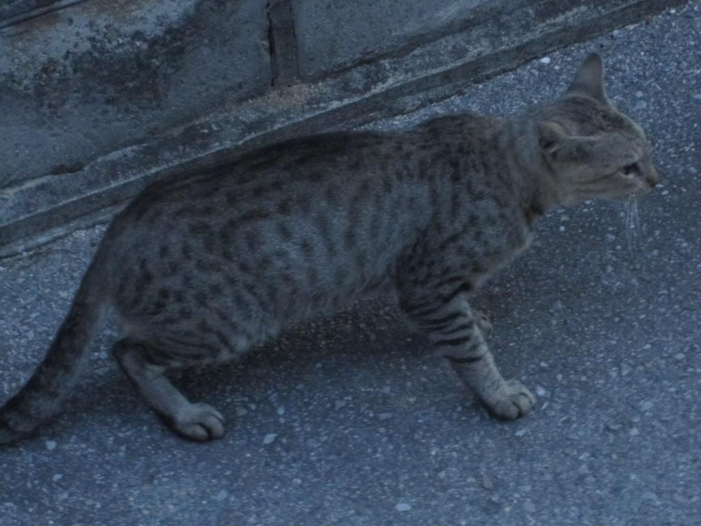 飼い猫なのか蚊良猫か不明なネコ