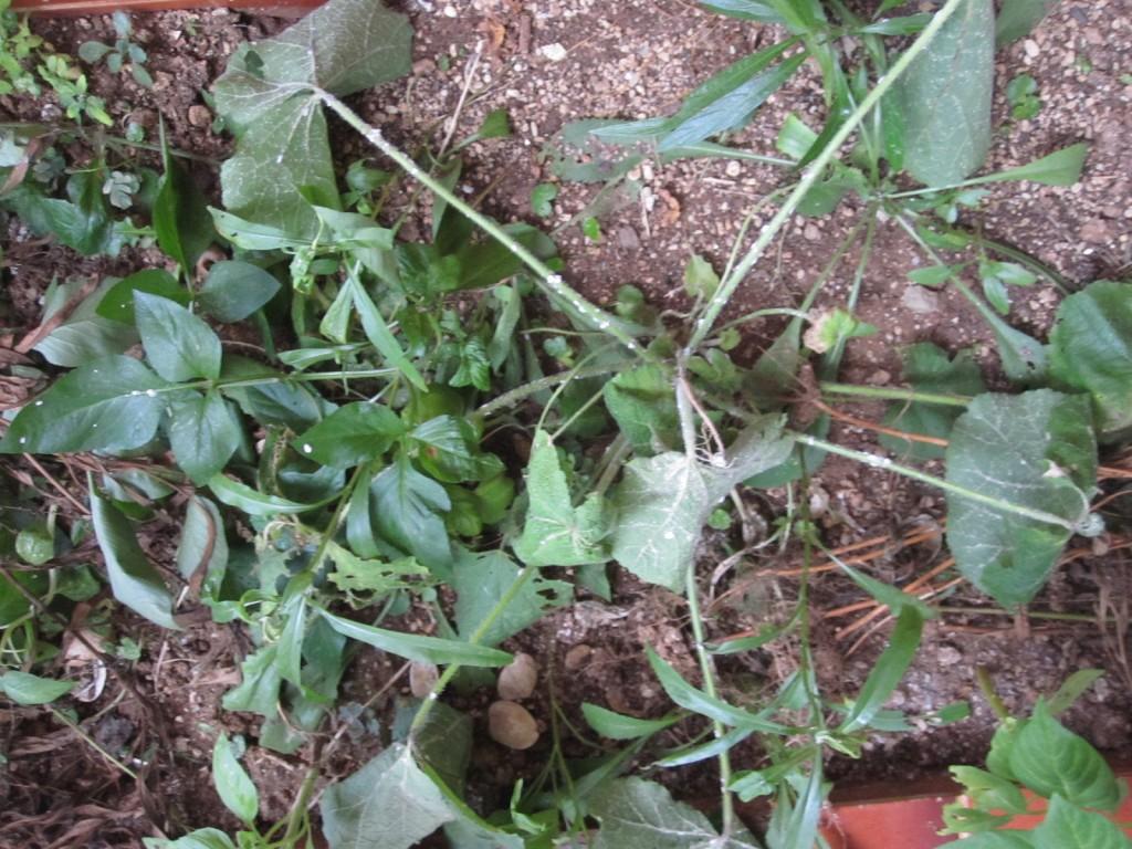 萎びれた葉と茎が痛々しい植物