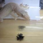 益虫アダンソンハエトリクモと生活を共にして語り合ってみた